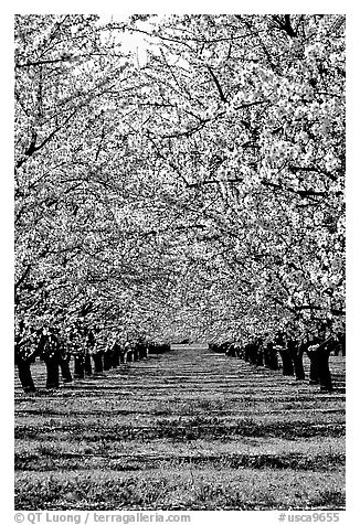 Orchards trees in bloom, Central Valley. California, USA (black and white)