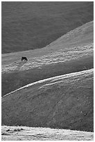 Cow on hilly pasture, Southern Sierra Foothills. California, USA ( black and white)