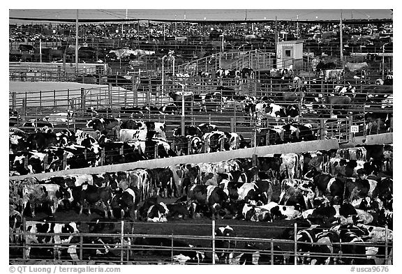 Cattle, Central Valley. California, USA (black and white)