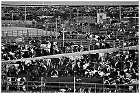 Cattle, Central Valley. California, USA ( black and white)