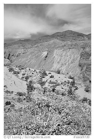 Yellow desert wildflowers, San Ysidro Mountains. Anza Borrego Desert State Park, California, USA (black and white)