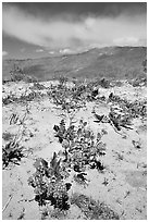 Purple desert wildflowers, San Ysidro Mountains. Anza Borrego Desert State Park, California, USA (black and white)
