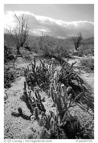 Cactus in bloom and Ocatillo,. Anza Borrego Desert State Park, California, USA (black and white)