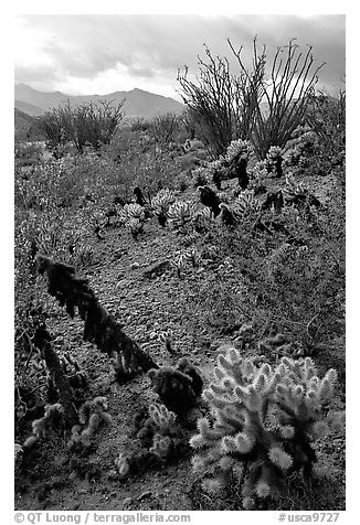 Cactus in cresote brush in bloom. Anza Borrego Desert State Park, California, USA (black and white)
