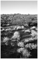 Sage bushes on flats. Mojave National Preserve, California, USA ( black and white)