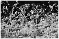 Desert plants and rock formations, Hole-in-the-Wall. Mojave National Preserve, California, USA ( black and white)