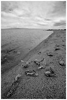 Dead fish on the shores of Salton Sea. California, USA ( black and white)