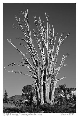 Standing tree squeleton. Mokelumne Wilderness, Eldorado National Forest, California, USA (black and white)