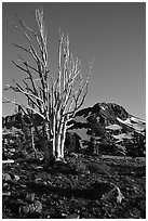 Standing tree squeleton and Round Top Peak. Mokelumne Wilderness, Eldorado National Forest, California, USA (black and white)