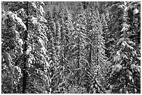 Snowy pine trees, Eldorado National Forest. California, USA ( black and white)