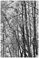 Aspens in the fall, Lundy Canyon, Inyo National Forest. California, USA (black and white)