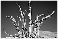 Bristlecone Pine tree squeleton, Patriarch Grove. California, USA ( black and white)