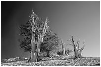 Bristlecone Pine trees, Patriarch Grove. California, USA (black and white)