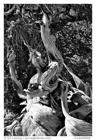 Ancient Bristlecone Pine tree, Methuselah grove. California, USA (black and white)