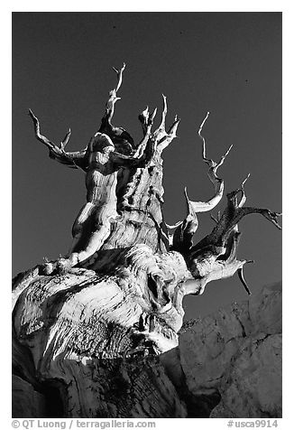 Bristlecone Pine tree, late afternoon, Discovery Trail, Schulman Grove. California, USA (black and white)