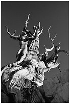 Bristlecone Pine tree, late afternoon, Discovery Trail, Schulman Grove. California, USA ( black and white)