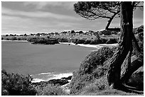 Tree and Ocean, Mendocino in the background. California, USA (black and white)