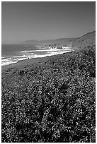 Purple wildflowers and Ocean near Fort Bragg. Fort Bragg, California, USA ( black and white)