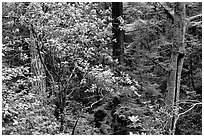 Rododendrons in Kruse Rododendron Preserve. Sonoma Coast, California, USA ( black and white)
