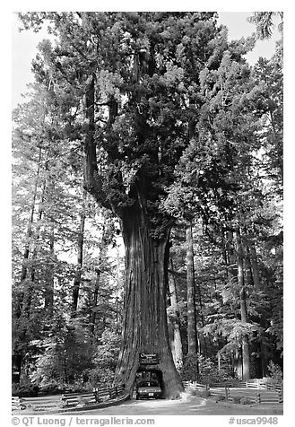 Drive-Through Chandelier Tree, Leggett. California, USA (black and white)
