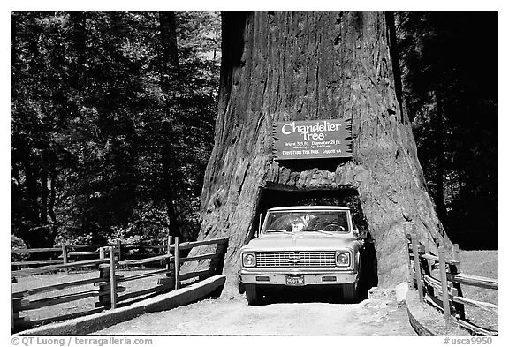 Truck driving through Drive-Through Tree, Leggett. California, USA (black and white)