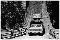 Truck driving through Drive-Through Tree, Leggett. California, USA ( black and white)
