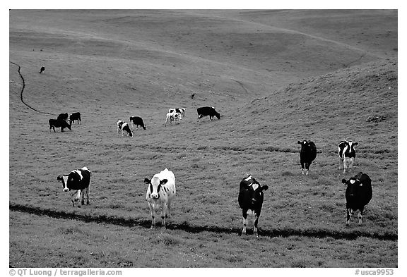 Cows in green pastoral lands. Point Reyes National Seashore, California, USA (black and white)