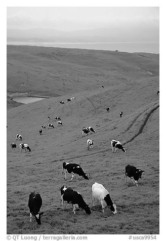 Cows in green pastures near Drakes Estero. Point Reyes National Seashore, California, USA (black and white)