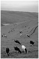 Cows in green pastures near Drakes Estero. Point Reyes National Seashore, California, USA ( black and white)