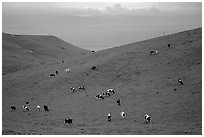 Cows on green hills near Drakes Estero. Point Reyes National Seashore, California, USA (black and white)