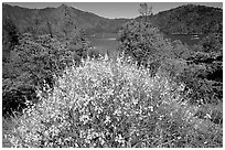 Bush in bloom with yellow flowers, and Shasta Lake criscrossed by watercrafts. California, USA (black and white)