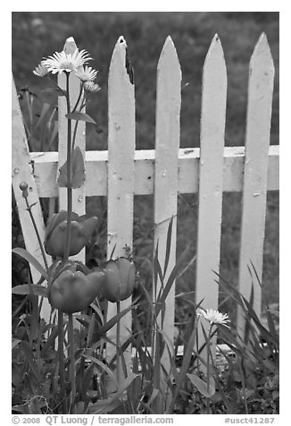 Flowers and white fence, Old Saybrook. Connecticut, USA (black and white)