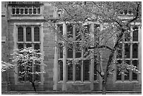 Spring leaves, blooms, and facade detail. Yale University, New Haven, Connecticut, USA ( black and white)