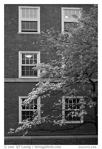 Dogwoods and red brick facade, Essex. Yale University, New Haven, Connecticut, USA (black and white)