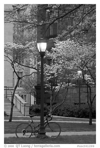 Street lamp and dogwoods in bloom, Essex. Yale University, New Haven, Connecticut, USA (black and white)