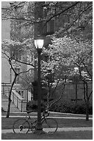 Street lamp and dogwoods in bloom, Essex. Yale University, New Haven, Connecticut, USA ( black and white)
