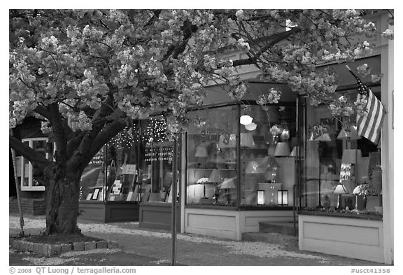 Lamp store and tree in bloom,	Old Saybrook. Connecticut, USA (black and white)