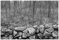 Stone wall and bare forest in winter, Minute Man National Historical Park. Massachussets, USA (black and white)