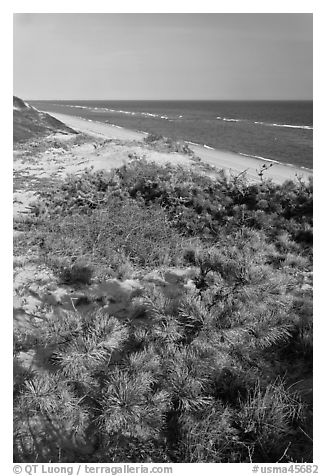 Dune vegetation, Cape Cod National Seashore. Cape Cod, Massachussets, USA (black and white)