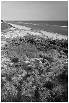 Dune vegetation, Cape Cod National Seashore. Cape Cod, Massachussets, USA ( black and white)