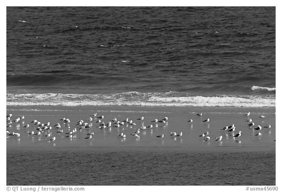 Sand bar with seabirds, Cape Cod National Seashore. Cape Cod, Massachussets, USA (black and white)