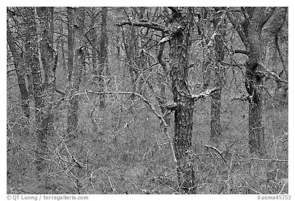 Black and White Picture/Photo: Bare forest with dense ...