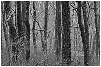 Bare Oak forest, Cape Cod National Seashore. Cape Cod, Massachussets, USA ( black and white)