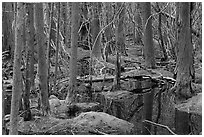 White Cedar Swamp, Cape Cod National Seashore. Cape Cod, Massachussets, USA ( black and white)