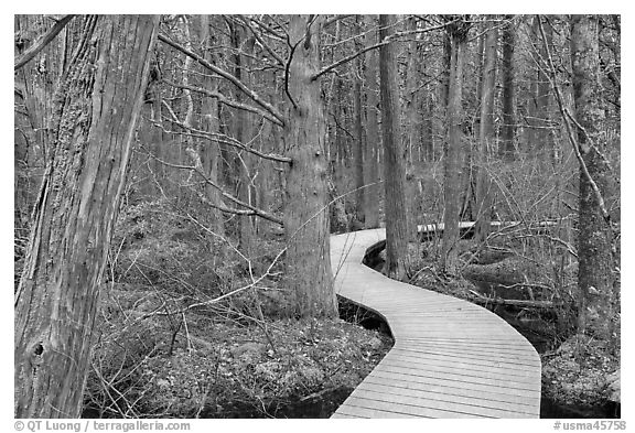 Boardwalk through swamp, Cape Cod National Seashore. Cape Cod, Massachussets, USA (black and white)
