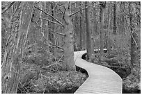 Boardwalk through swamp, Cape Cod National Seashore. Cape Cod, Massachussets, USA ( black and white)