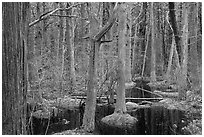 Atlantic White Cedar swamp forest, Cape Cod National Seashore. Cape Cod, Massachussets, USA ( black and white)