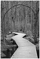 Boardwalk, Atlantic White Cedar swamp trail, Cape Cod National Seashore. Cape Cod, Massachussets, USA ( black and white)