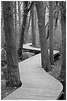 Elevated boardwark through flooded forest , Cape Cod National Seashore. Cape Cod, Massachussets, USA ( black and white)