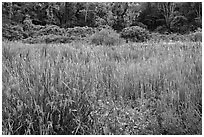 Meadow in summer, Minute Man National Historical Park. Massachussets, USA ( black and white)